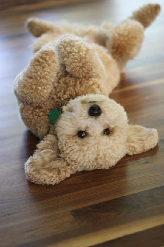 He looks like a stuffy, the kids will love him, and so will I... hee hee  #goldendoodle #dogs #cute