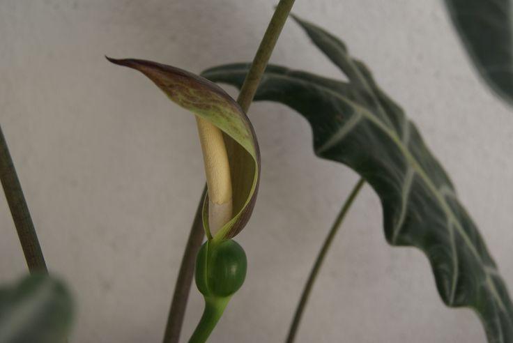 Flor precisosa