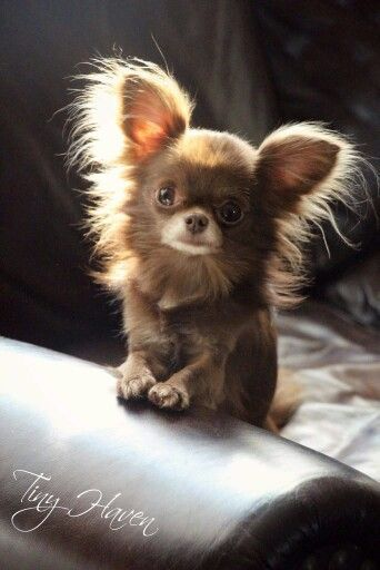 Little long-haired Chihuahua♥ http://Yuppypup.co.uk provides the fashion conscious with stylish clothes for their dogs. Luxury dog clothes and latest season trends, Dog Carriers and Doggy Bling. . Please go to http://www.yuppypup.co.uk/