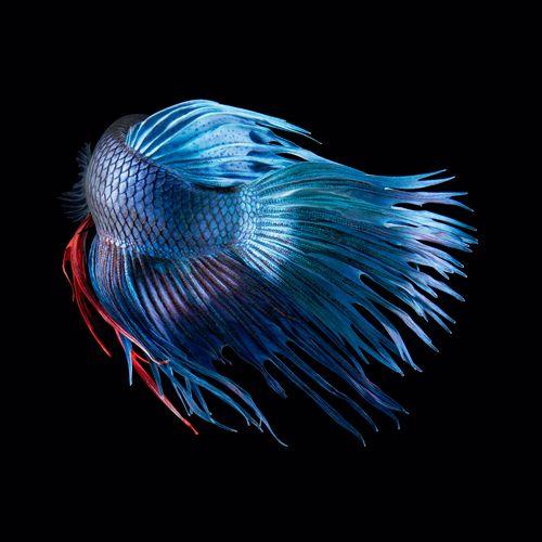 Fighting Fish by Tim Flach #fightingfish #fish #animal #photography