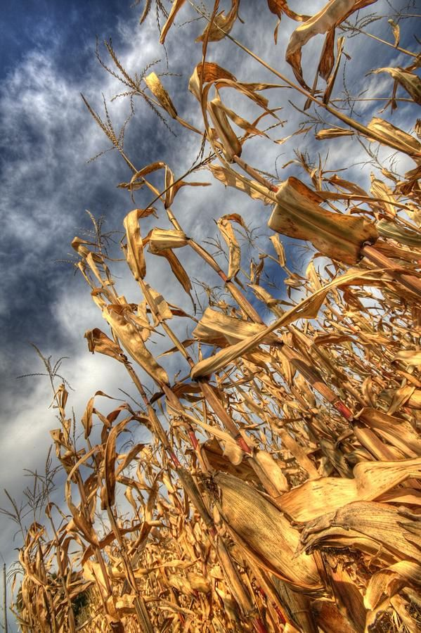 Corn Field Photograph  - Corn Field Fine Art Print