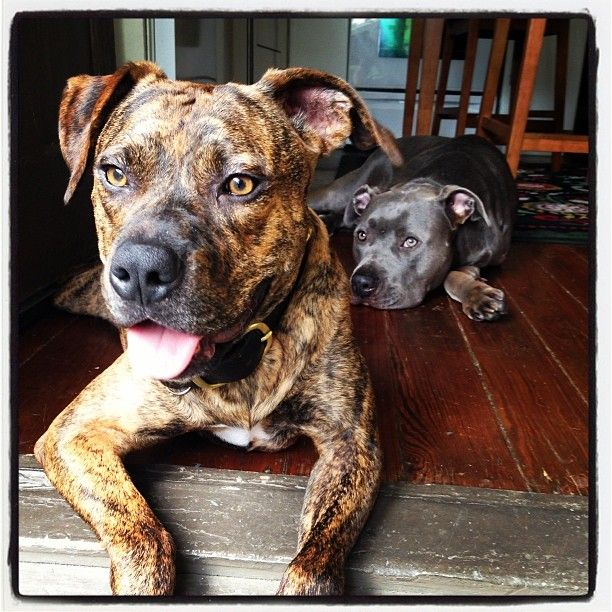 Fostering for the Win!   Your Pit Bull and You