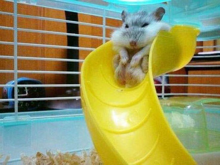 Lustige Hamsterparty: Fluffig, klein und süß