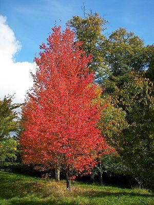 Rot-Ahorn (Acer rubrum) in Herbstfärbung