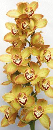 Cymbidium Orchids : Kiwi Orchids - Cymbidum Orchid Varieties - Kiwi Prelude Aubergine