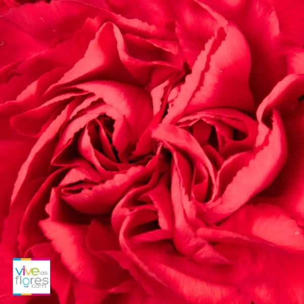 Vivelasflores.com te ofrece hermosos claveles rojos, cultivados con buenas prácticas agrícolas. Somos social y ambientalmente responsables.