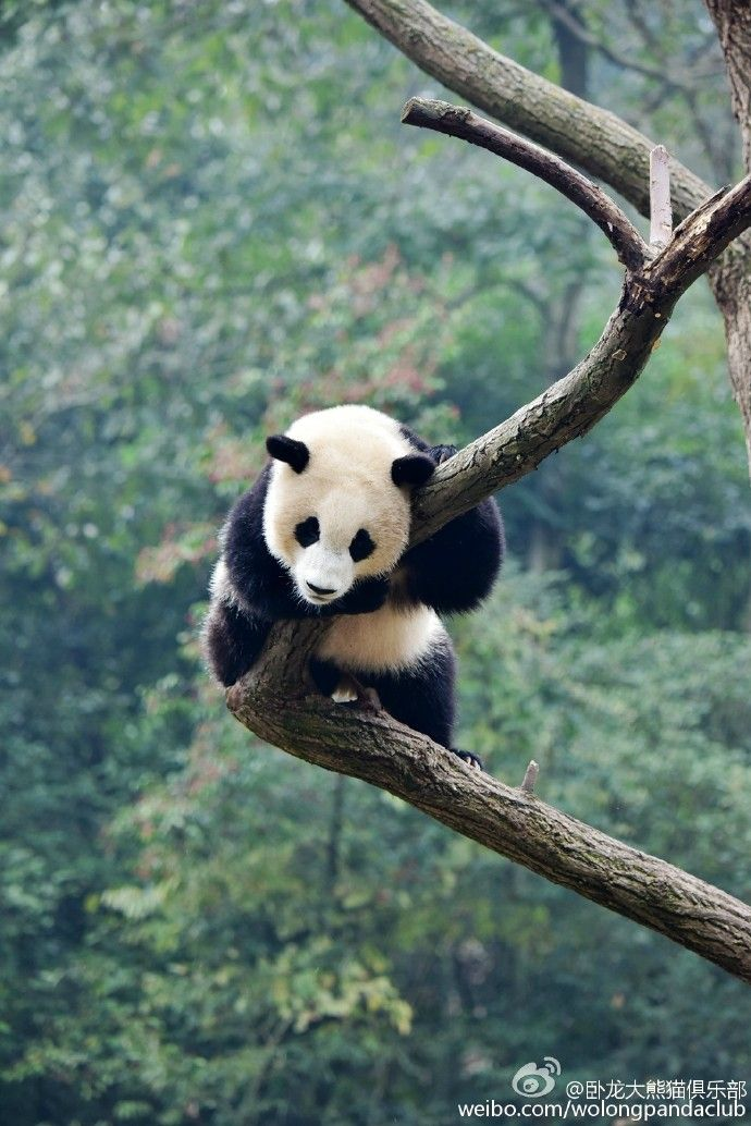 The daily life of the great panda gymnasts