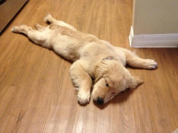 um filhote de Golden que adorou o novo piso.