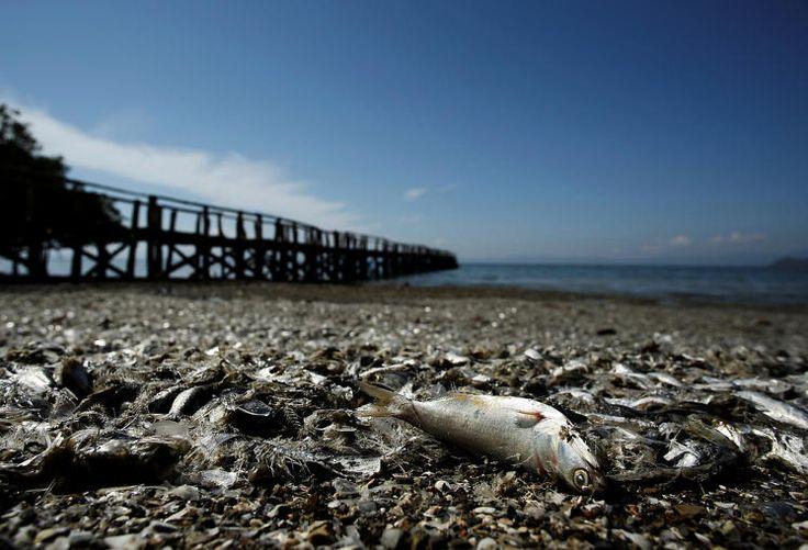 Totes Meer: An der Pazifikküste von Costa Rica sind Tausende tote Fische angespült worden. Die Tiere bedeckten im Golf von Nicoya eine Fläche von rund acht Quadratkilometern. Das Fischsterben könnte durch Mikroalgen, Sauerstoffmangel oder giftige Substanzen ausgelöst worden sein. Mehr Bilder des Tages auf: http://www.nachrichten.at/nachrichten/bilder_des_tages/ (Bild: Reuters)