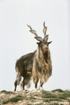 The Bukharan Markhor or Tadjik Markhor is an endangered goat-antelope, native to Tajikistan, Pakistan, Turkmenistan and Uzbekistan, possibly also Afghanistan. Today it is found in few scattered populations, for example in Kugitang Nature Reserve in easternmost Turkmenistan.  I can't understand why there are so many recent hunting pictures on the net for these beautiful endangered animals.  Such a barbaric & egocentric sport!