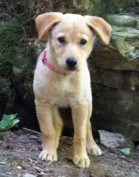 Lola the Labrador Mix - Daily Puppy