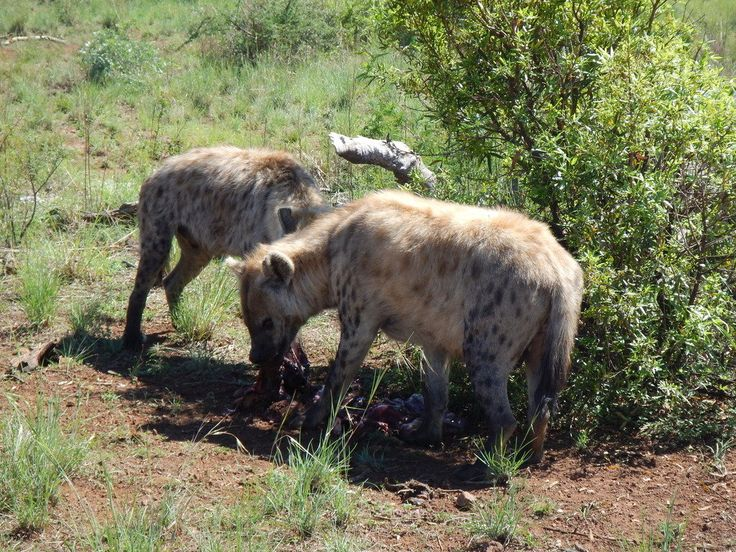 south africa animal spotted hyenas eating