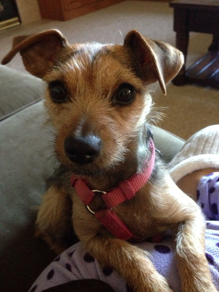 17 Best ideas about Jack Russell Mix on Pinterest