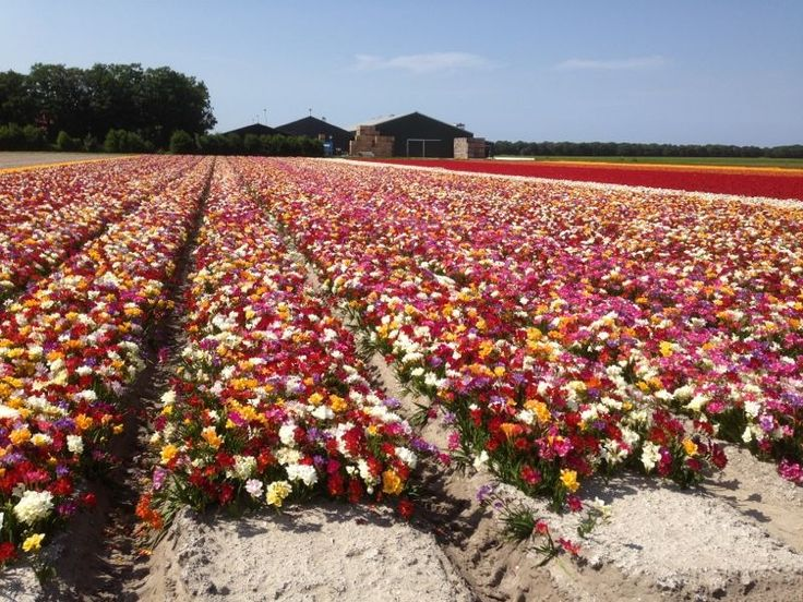 Gorgeous fields of mixed freesia near the town of Breezand. July 2013.