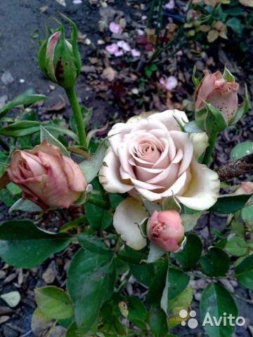 Корнесобственные саженцы роз — фотография №1
