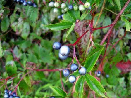 Silky Dogwood Berries aka Cornus amomum