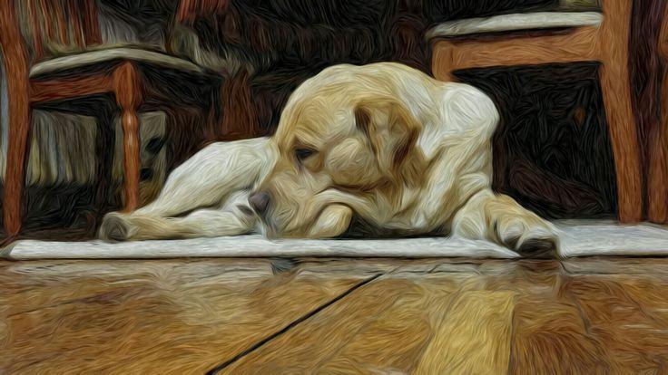 Hugo-labrador