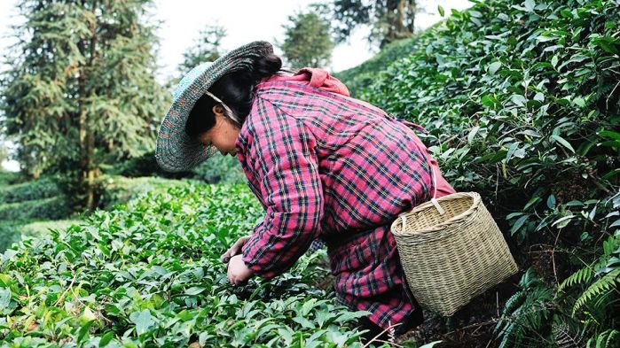 The Secrets of Mengding Huangya (Yellow Buds)-The Rare Chinese Yellow Tea http://teaseek.blogspot.com/2016/04/the-secrets-of-mengding-huangyayellow.html