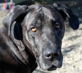 Pandora is an adoptable Great Dane Dog in Roseville, CA.  Placer SPCA - your local companion animal welfare experts. We offer FREE cat spay & neuter and FREE pitbull/pitbull mix spay & neuter in Place...