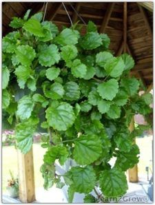 Ivy Hedera Helix House Plant on lavender plant, sage ivy plant, ground ivy plant, geranium ivy plant, black swedish ivy plant, variegated english ivy plant, gold plant, horse chestnut plant, outdoor english ivy plant, macadamia nut plant,