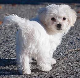 Maltese-dog-walking-on-road #DogWalking