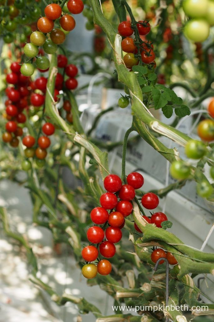 A closer look at the layering method Eric Wall Ltd use to train their tomato plants, inside their glasshouses at their site in Barnham, Chichester,…