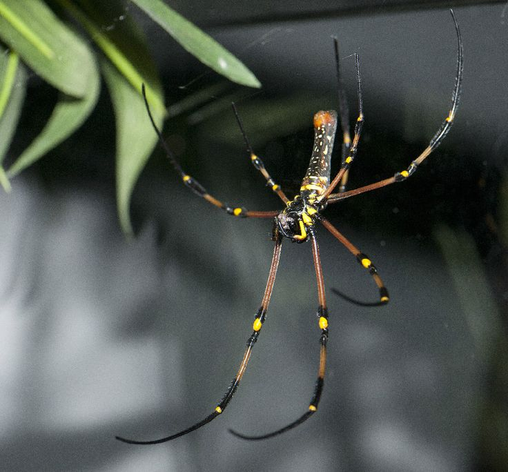 A golden orb-web spider, Nephila pilipes. Found throughout parts of Asia, this large spider has yellow on its abdomen and spins a golden web.