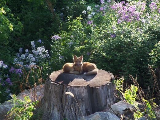 Red Fox kits in a local garden.