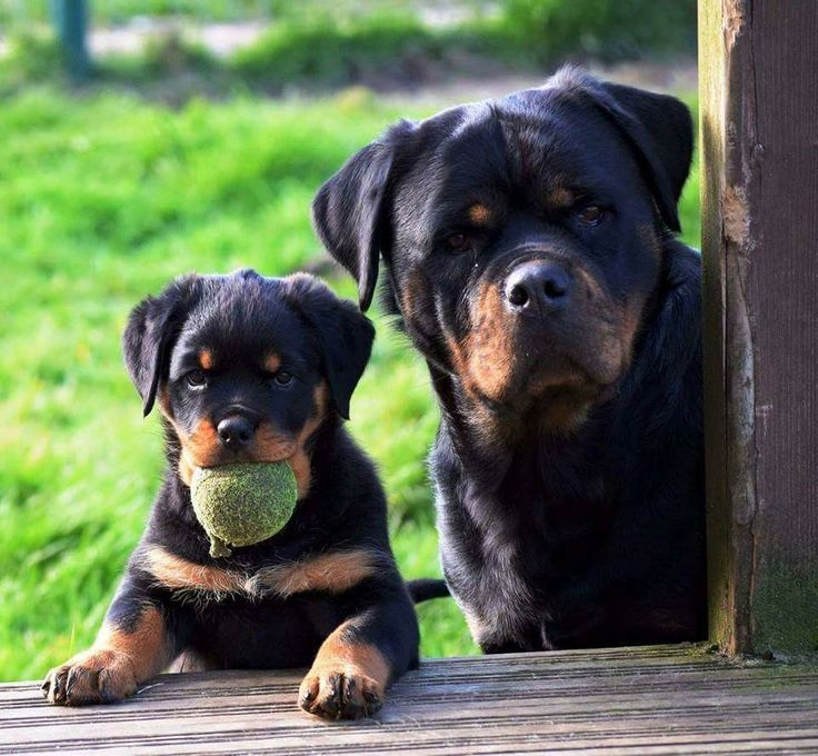 Father like son...  Rottweiler
