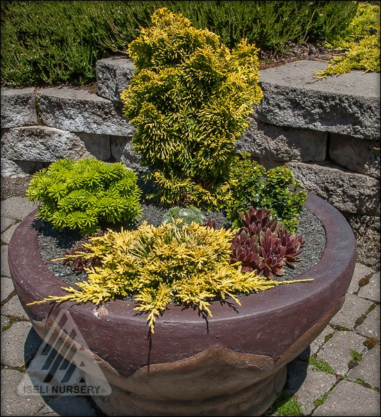 dwarf and miniature conifers are perfect for containers on the deck or patio