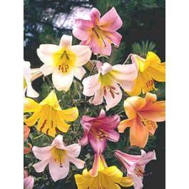 Lilium Trumpet and Aurelian Mix (Lily Trumpet and Aurelian)
