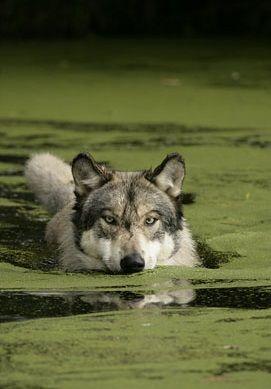 Gray Wolf https://www.eukhost.com/amazing-website/                                                                                                                                                                                 More
