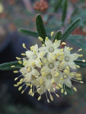 Phebalium sqamulosum 'Cinnamon and Gold' • Australian Native Plants Nursery • Plants • 800.701.6517