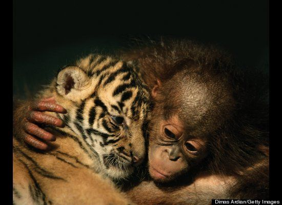 orangutan baby and tiger cub