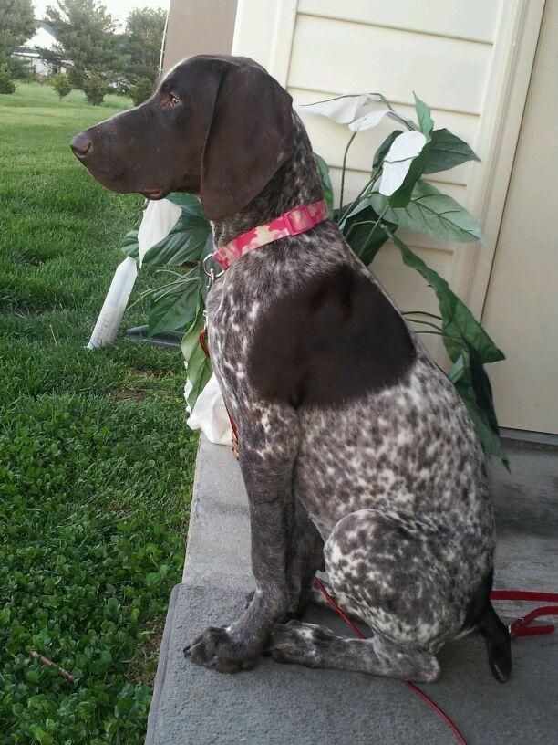 Adopted!! Ryker - German Shorthaired Pointer • Baby • Female • Medium - New Beginnings German Shorthaired Pointer Rescue Monrovia, MD  Ryker is an owner surrender because owner was moving. She is 10 months old, she was born on 1-15-2013. She is very sweet and gets along very well with other dogs. She absolutely loves adults and children and prefers sleeping in people beds over dog beds.She is still a pup and needs more training. She learns quickly and is eager to please...