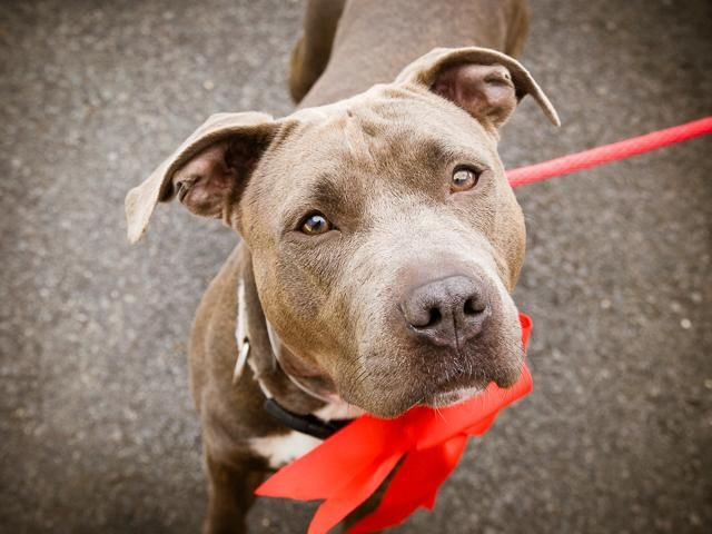 SUPER URGENT Brooklyn Center My name is GESTURE. My Animal ID # is A1076233. I am a female gray and white am pit bull ter mix. The shelter thinks I am about 1 YEAR I came in the shelter as a STRAY on 06/04/2016 from NY 11221, owner surrender reason stated was STRAY.