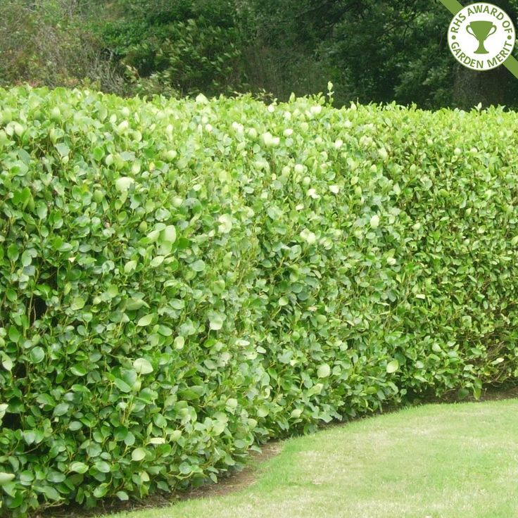 Image Result For Dwarf Evergreen Shrubs For Borders