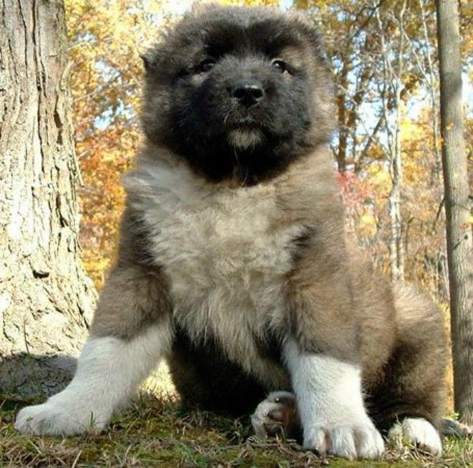 17 Best Images About Caucasian Shepherd Dog The Same