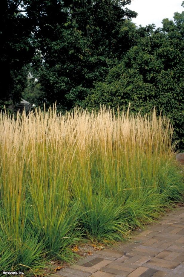 Feather reed grass calamagrostis x acutiflora 39 stricta for Tall ornamental grasses for screening