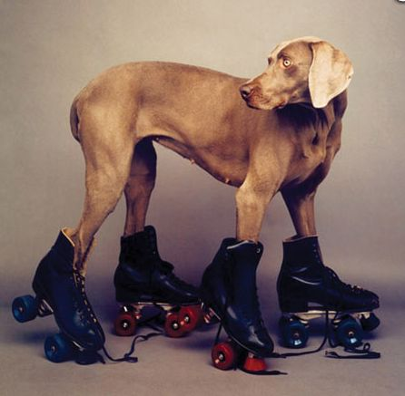 """Roller Rover,"" 1986, by William Wegman: Rollers, Dogs, William Wegman, Williamwegman, Roller Rover, Wall Calendar, Friend, Animal"