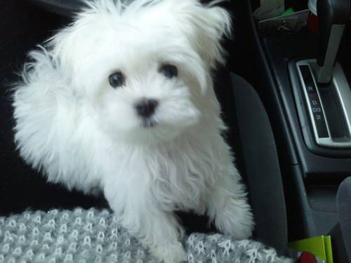 Micro Teacup Maltese for Sale - All shots, paperwork, and extras such as crate, food, and treats provided.