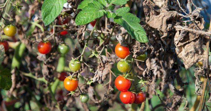 die besten 25 tomatenpflanzen ideen auf pinterest die. Black Bedroom Furniture Sets. Home Design Ideas