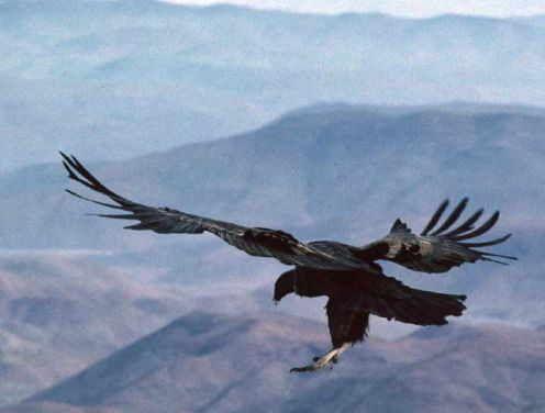 Condor - National Bird of Colombia
