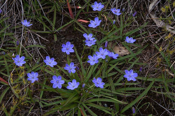 Chamaescilla corymbosa: blue stars