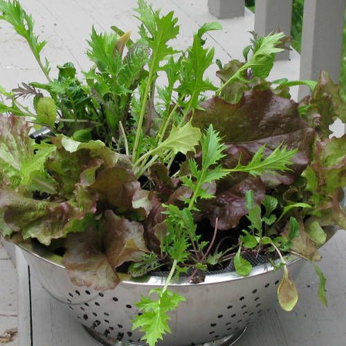 Your container can be fairly shallow, because lettuce doesn't have long roots. I love growing lettuce in colanders. You can get a giant one at a restaurant supply company. Smaller sizes are easily found at discount stores, yard sales or second hand stores - this one cost 50 cents at a yard sale.