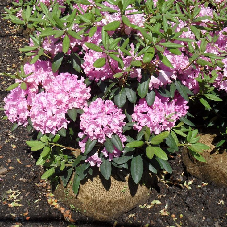"Rhododendron ""Roseum Pink"" May want another variety with paler pink"