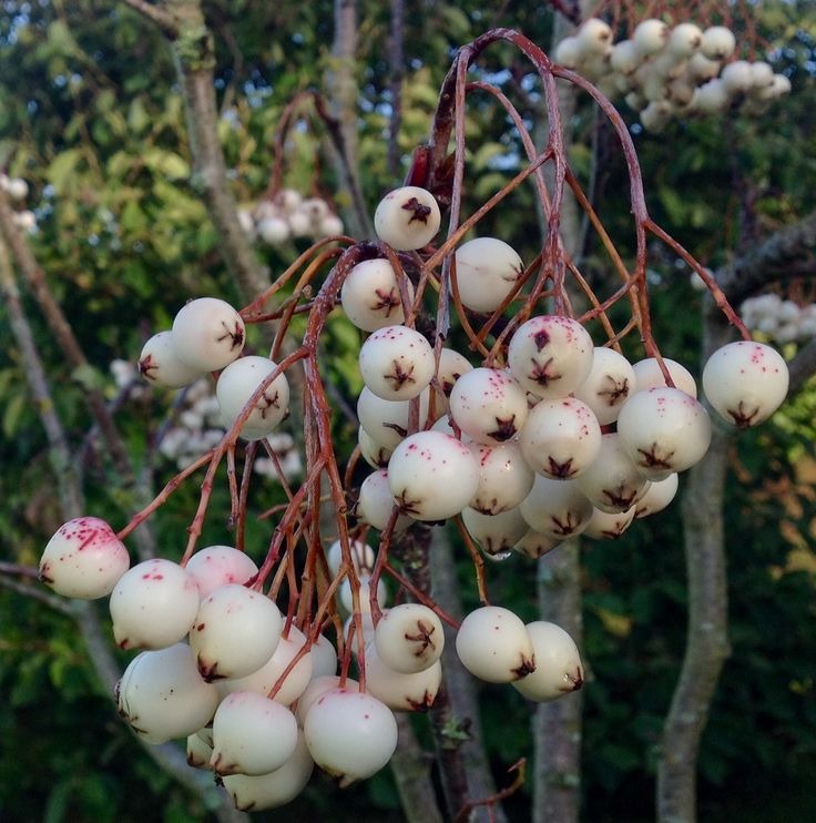 The almost pure white berries of Sorbus vilmornii Mountain Ash