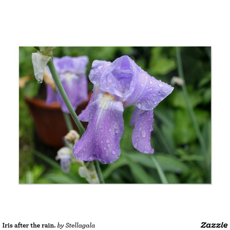 Iris after the rain. poster #iris
