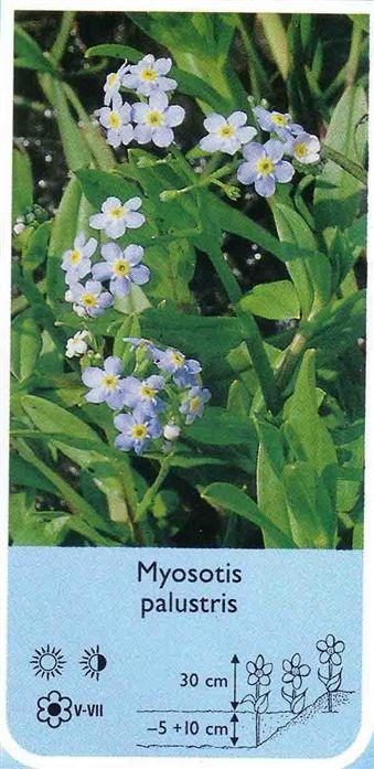 Myosotis palustris (niezapominajka błotn - Rośliny wodne, Lilie wodne | Sklep