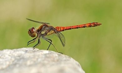 This dragonfly is both messenger and missile